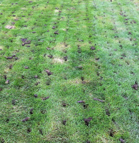 a lawn after the core aeration process