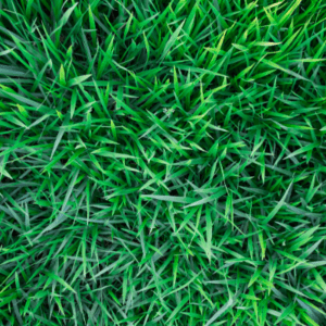 healthy green grass