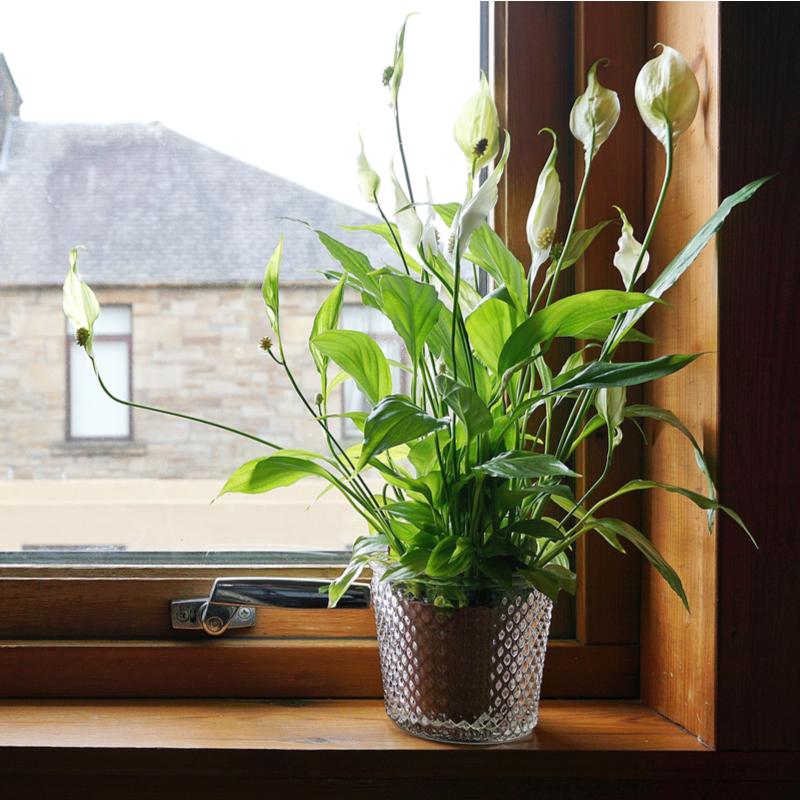 potted peace lily on a window sill